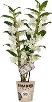 Orchidee van Botanicly – Bamboe Orchidee – Hoogte: 50 cm, 2 takken, witte bloemen – Dendrobium nobile Apollon