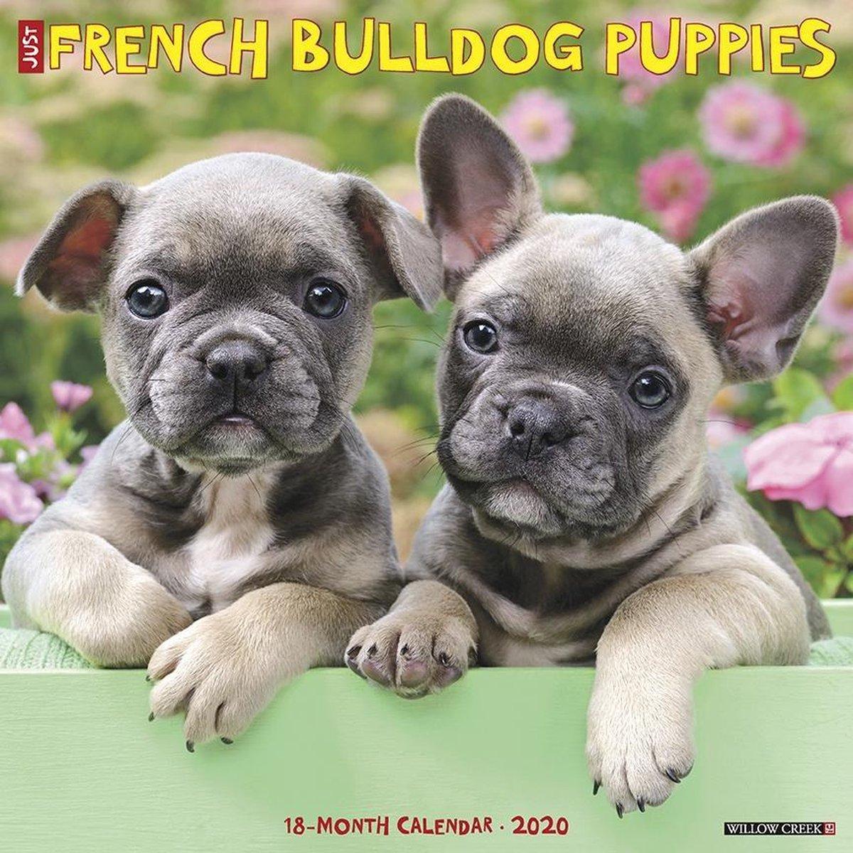 Bol Com Franse Bulldog Puppies Kalender 2020