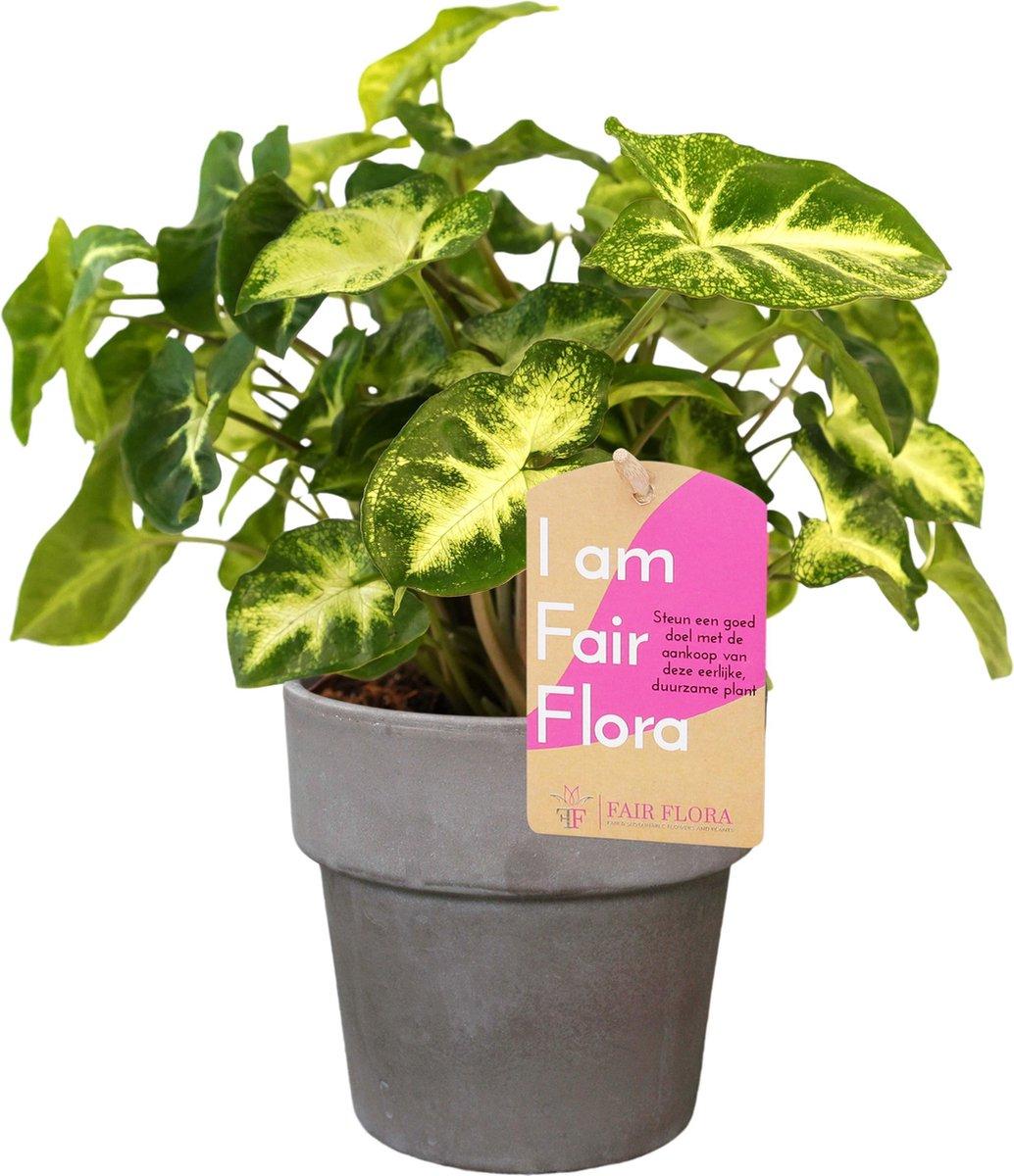 Duurzaam geproduceerde Kamerplant van FAIR FLORA® - 1 x Syngonium Pixi in de grijze keramische pot - Duurzaam geproduceerde Kamerplant van FAIR FLORA® 20 cm
