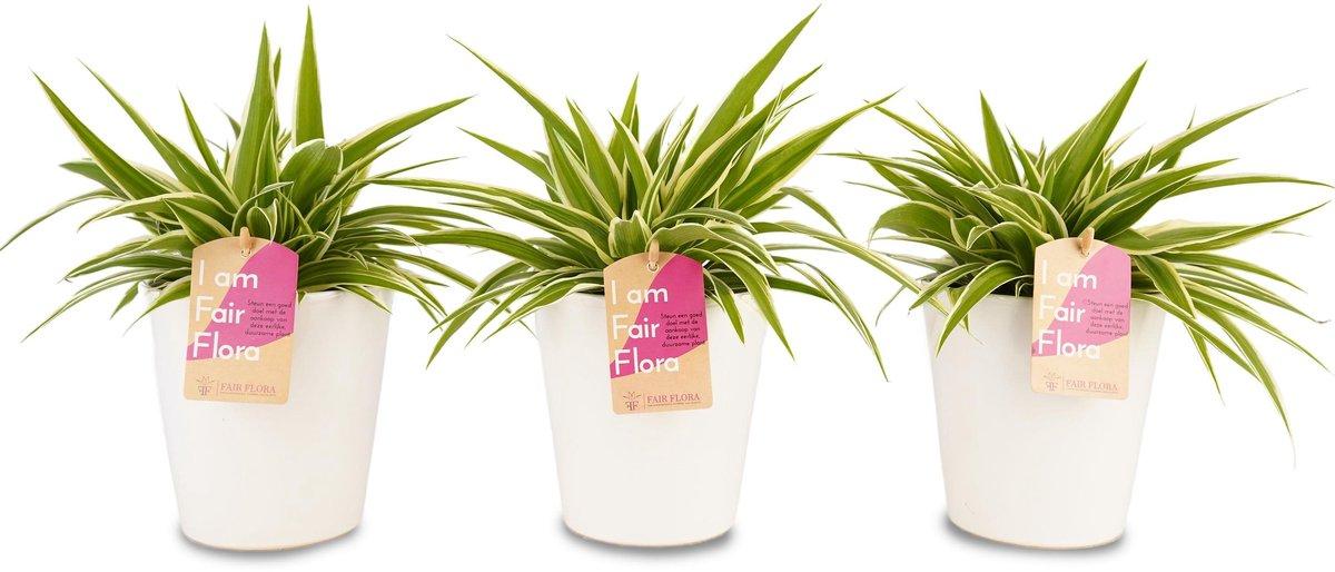 Duurzaam geproduceerde Kamerplant van FAIR FLORA® - 3 x Graslelie in de witte keramiek sierpot - Hoogte: ca. 20 cm - Latijnse naam: Chlorophytum comosum