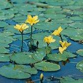 Nymphoides Peltata - Watergentiaan geel - ↑ 20cm - Ø 11cm