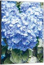 Dibond –Blauwe Hortensia– 30x40 Foto op Aluminium (met ophang)