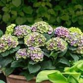 Hydrangea Magical 'Amethyst Blue' - Hortensia blauw-paars - ↑ 15-20cm - Ø 12cm