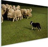 Border Collie die de schapen in een groen weiland hoedt Plexiglas 60x40 cm - Foto print op Glas (Plexiglas wanddecoratie)