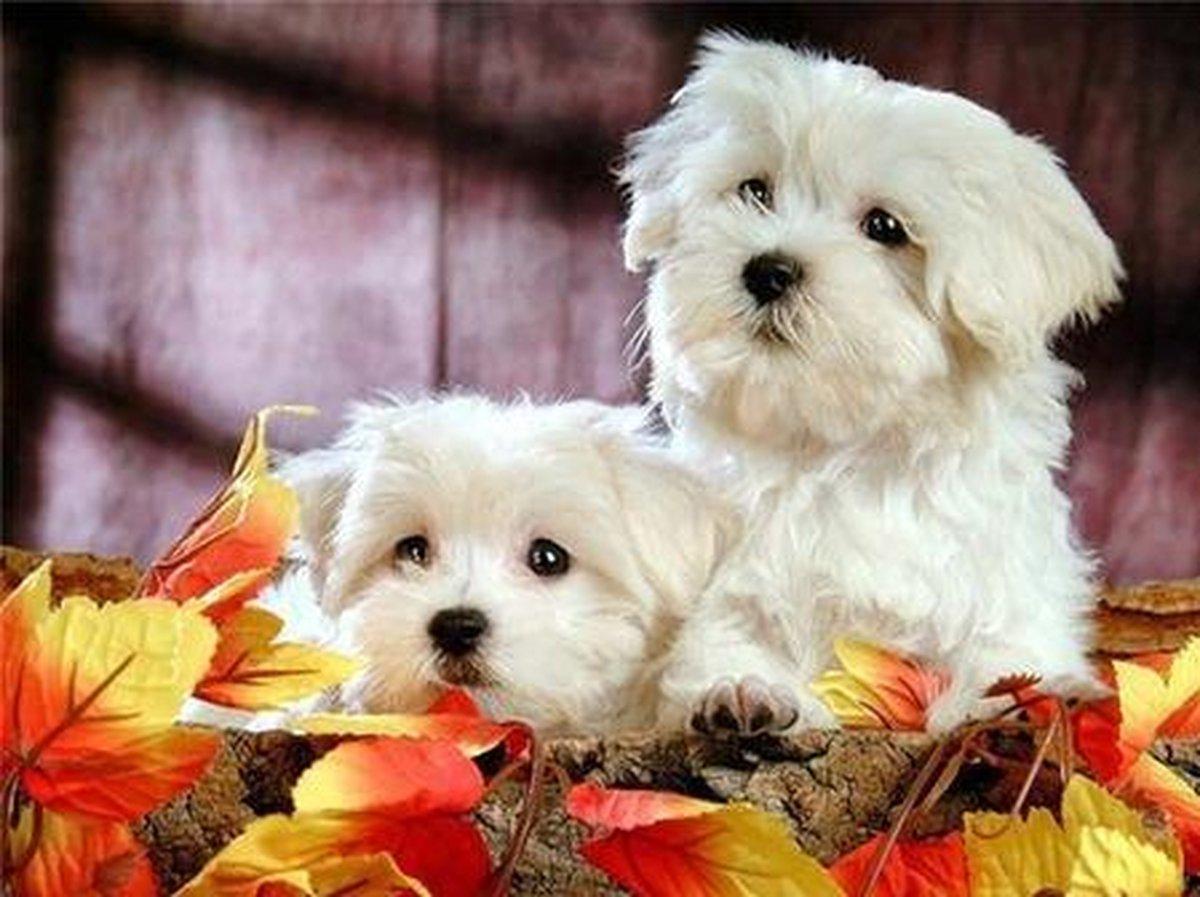 Premium Paintings - Twee Maltezers Honden - Diamond Painting Volwassenen - Pakket Volledig / Pakket Full - 30x40 - Moederdag cadeautje