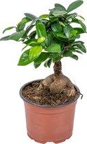 Bonsai boompje - Ficus 'Ginseng' - Pot 12 cm - Hoogte 35 cm