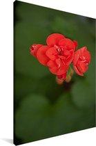 Bloeiende geranium bloem Canvas 20x30 cm - klein - Foto print op Canvas schilderij (Wanddecoratie woonkamer / slaapkamer)