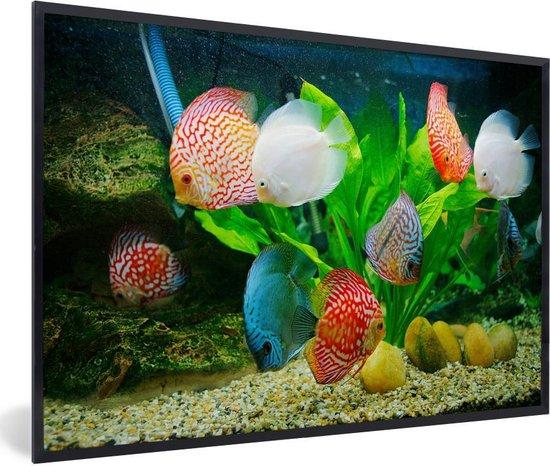 Bol Com Foto In Lijst Vissen In Een Aquarium Fotolijst Zwart 60x40 Cm Poster In Lijst