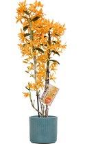Orchidee van Botanicly – Bamboe Orchidee in turquois-kleurige keramische misaki pot  als set – Hoogte: 50 cm, 2 takken, oranje bloemen – Dendrobium nobile Firebird