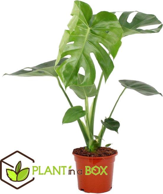 PLANT IN A BOX - Monstera Deliciosa - Gatenplant - kamerplant - pot ⌀17 cm - Hoogte ↕ 55-65 cm
