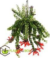 PLANT IN A BOX - Aeschynanthus 'Twister' - lippenstiftplant - pot ⌀15 cm - Hoogte ↕ 20 - 30 cm