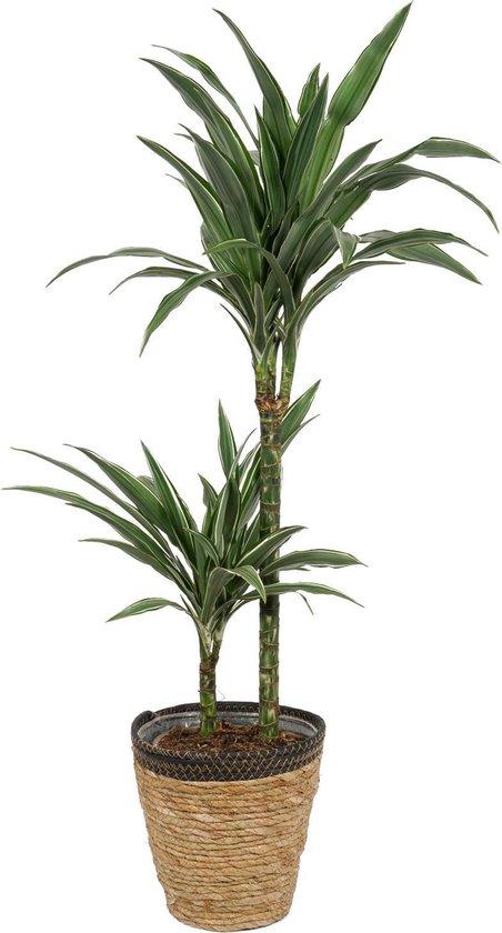 Kamerplant Dracaena Warneckei - ± 100cm hoog – 19cm diameter - in siermand met zwarte rand