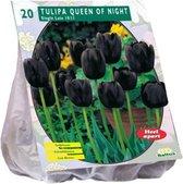 Baltus Tulipa Queen of Night Enkel Laat tulpen bloembollen per 20 stuks