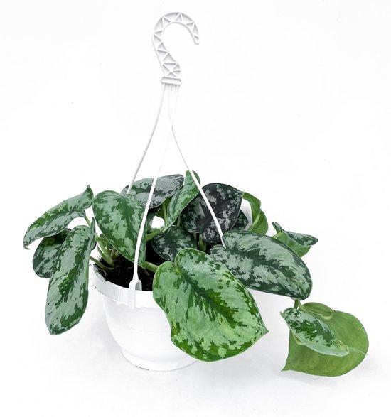 Scindapsus Pictus 'Trebie' ⌀ 19 cm (Trendy, Hangplant, Klimplant, Urbanjungle)