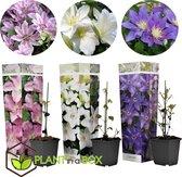 Plant in a Box - Clematis klimplanten Mix - Mix van 3 planten - pot ⌀9 cm - Hoogte ↕ 20 - 30cm