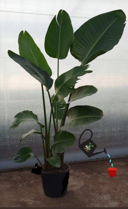 Strelitzia Nicolai 160 cm. hoog..de populairste plant van dit moment! Persoonlijke bezorging om beschadiging te voorkomen.