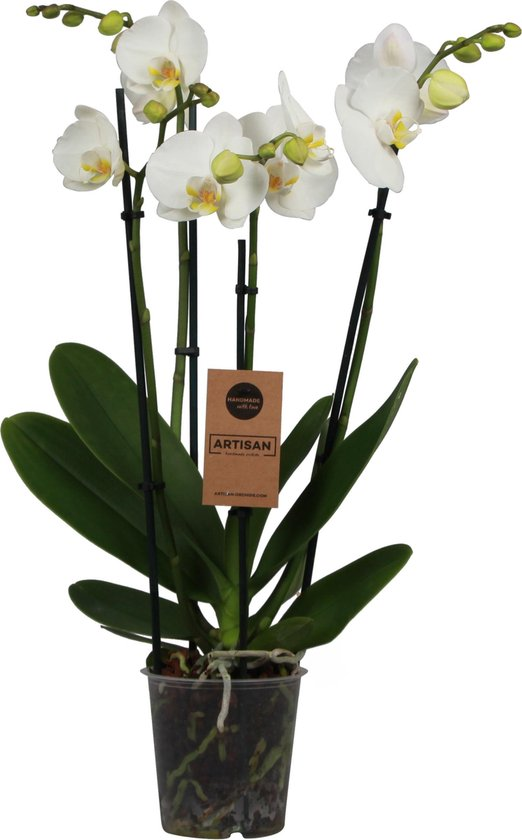 Orchidee | Phalaenopis 4 tak Wit