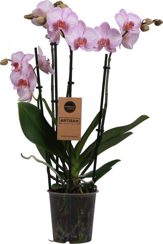 Orchidee | Phalaenopsis 4 tak Roze
