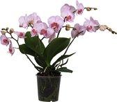 Orchidee | Original Orchids Roze