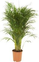 Dypsis Lutescens - Areca Palm XL - Kamerplant - ↑ 100-110cm - Ø 21cm