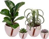 Set van 4 planten met bijpassende witte plantenpotten – kamerplanten voor binnen met verschillende groottes - Mapot
