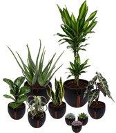Set van 9 planten met bijpassende zwarte plantenpotten – kamerplanten voor binnen met verschillende groottes - Mapot