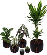 Set van 6 planten met bijpassende zwarte plantenpotten – kamerplanten voor binnen met verschillende groottes - Kodi