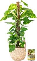 Pokon® Scindapsus Epipremnum incl. watermeter en voeding - in Belmar Mand - hoogte ↕80 cm