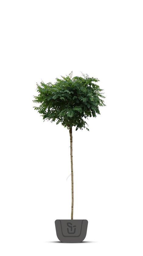 Bolacacia - Robinia pseudoacacia Umbraculifera   Stamomtrek: 12-14 cm   Stamhoogte: 220 cm
