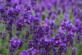 Bloementhee Lavendel