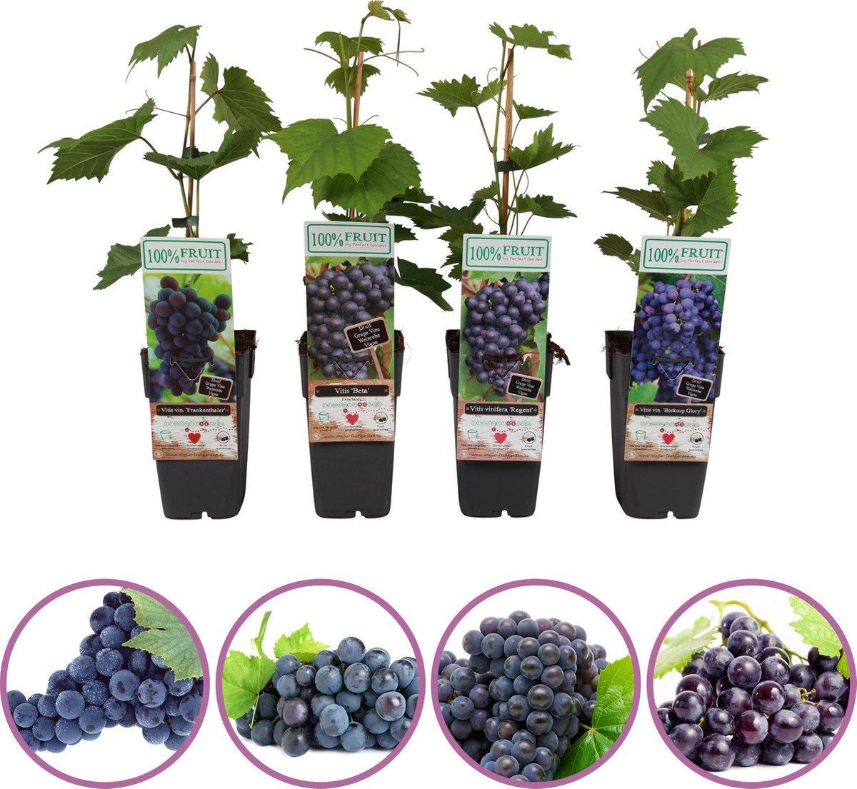 Blauwe druiven fruitplanten mix - set van 4 verschillende blauwe druiven - hoogte 50-60 cm - zelfbestuivend, winterhard