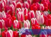 25 Tulpenbollen Delight Mix - Tulpenbollen - Bloembollen - flowerbulbs - tulipbulbs - tulp - tulpen - Tulip - Bloemen - Bollen - Tuin