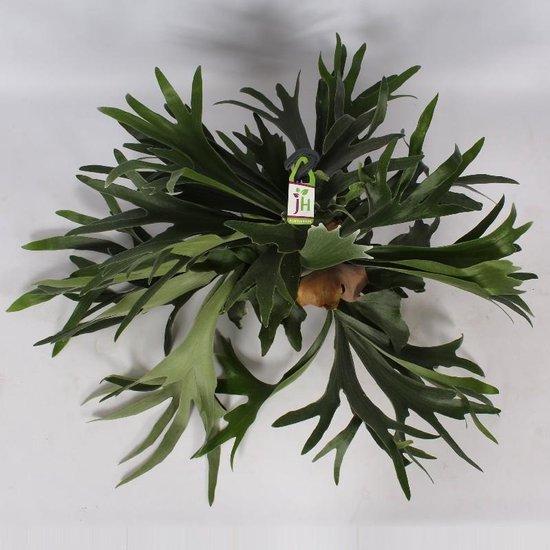 XL HertsHoorn Mooie Grote Plant. Extra Groot! Mooi voor huiskamer of kantoor