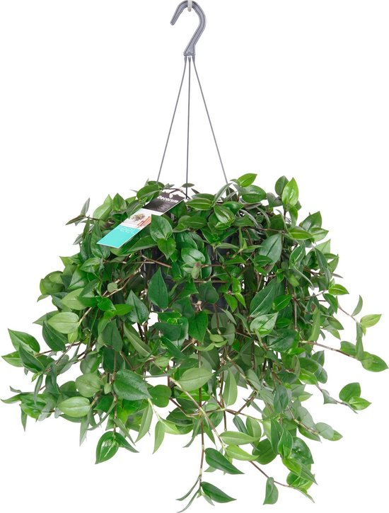 Tradescantia 'Green Hill' - Vaderplant - ↑35-40 cm - Ø18 cm