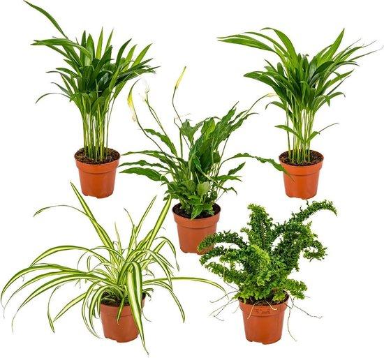 Mix van 5 luchtzuiverende kamerplanten | Chlorophytum 2x, Asplenium, Spathiphyllum, Nephrolepis ⌀12 cm - ↕35 cm