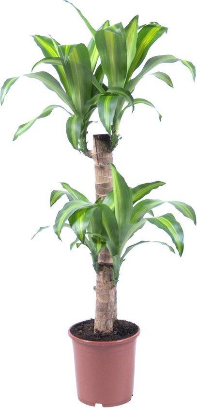 Dracaena fragrans massangeana 95cm