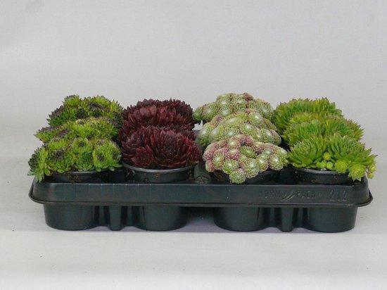 Sempervivum (rotsplanten) 12 stuks mix