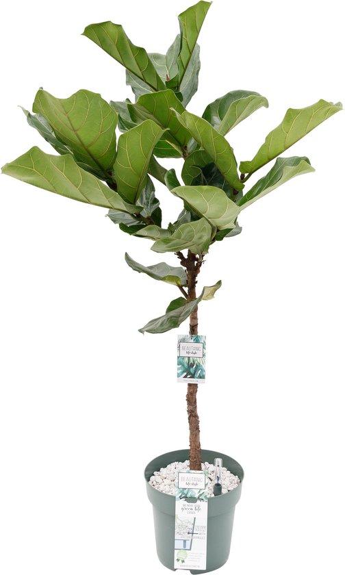 Ficus Lyrata (Tabaksplant) kamerplant| hydrocultuur | 130cm hoog | met watermeter