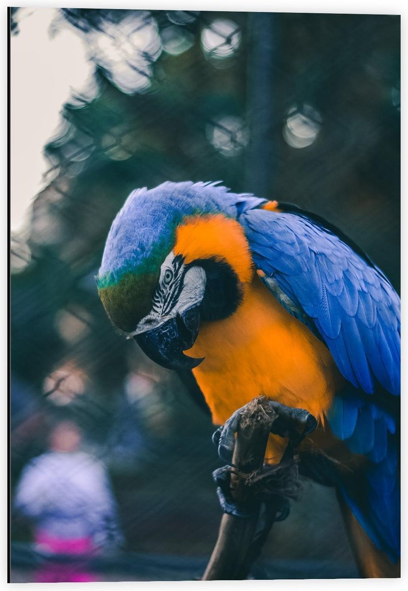 Dibond - Mooie Blauw met Gele Papagaai op Stokje  - 40x60cm Foto op Aluminium (Met Ophangsysteem)
