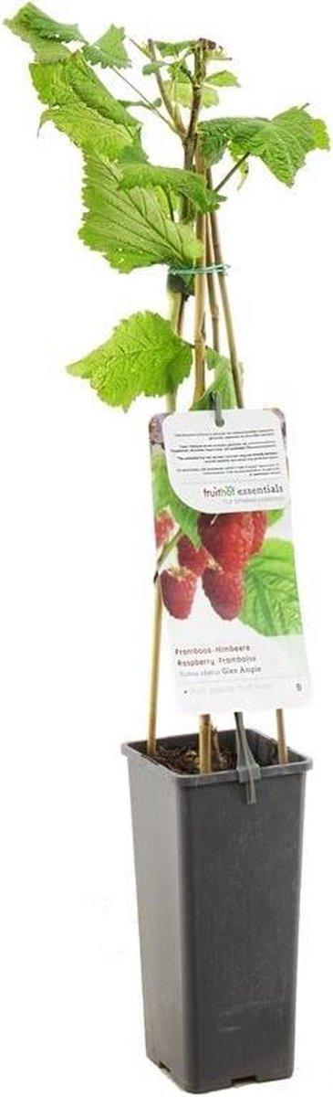 Framboos - Rubus idaeus - Glen Ample - hoogte 60 cm - potmaat Ø11cm
