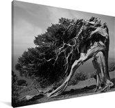Zwart-wit foto van een jeneverbes Canvas 140x90 cm - Foto print op Canvas schilderij (Wanddecoratie woonkamer / slaapkamer)