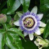 Passiflora Caerulea - Blauwe passiebloem 50-60 cm pot