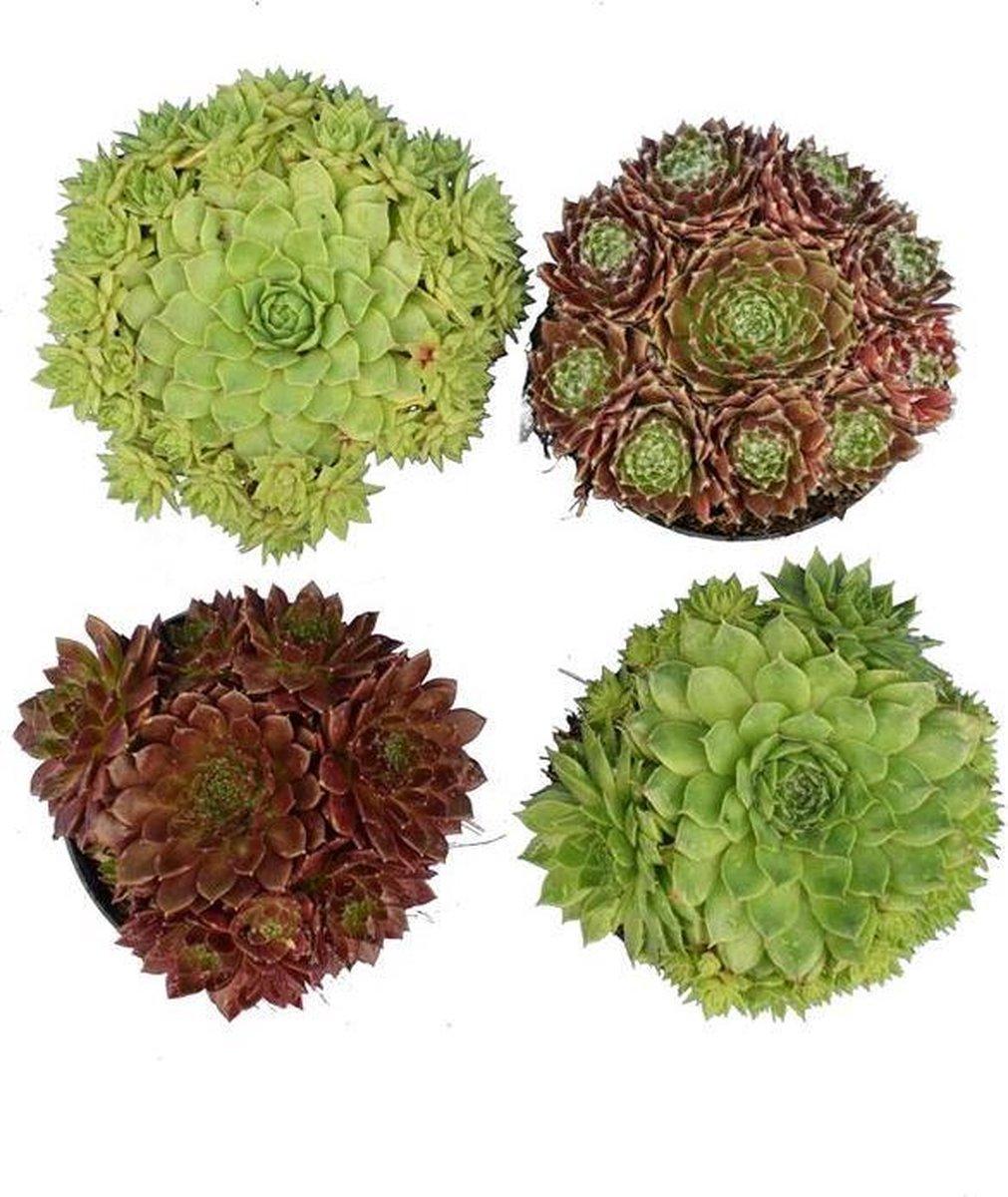 Sempervivum Mix Vetplanten, succulenten Rotsplant