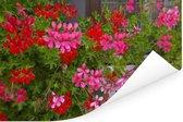 Geranium bloemen in de tuin Poster 90x60 cm - Foto print op Poster (wanddecoratie woonkamer / slaapkamer)