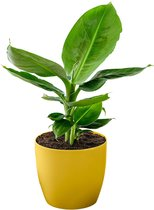 Musa 'Oriental Dwarf' - Bananenplant - Incl. geurende sierpot geel -  ↑ 30-45cm - Ø 12cm