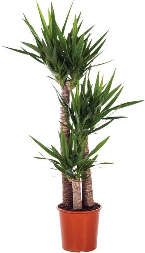 Yucca Elephantipes 'Palmlelie' - 3 Stammen - ↑ 140-150cm - Ø 27cm