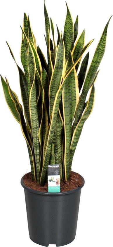Sansevieria Trifasciata Laurentii Vrouwentong - ↑ 80-90cm - Ø 21cm