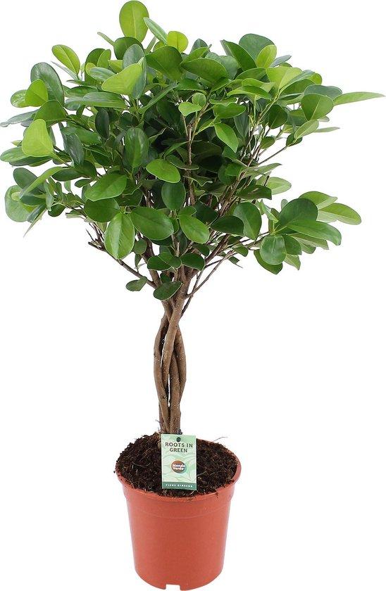 Ficus Microcarpa Moclame Treurvijg - ↑ 70-75cm - Ø 17cm