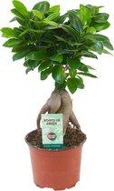 Ficus 'Ginseng'   Bonsai-boom   Hoogte 30-35cm   Potmaat Ø 12cm