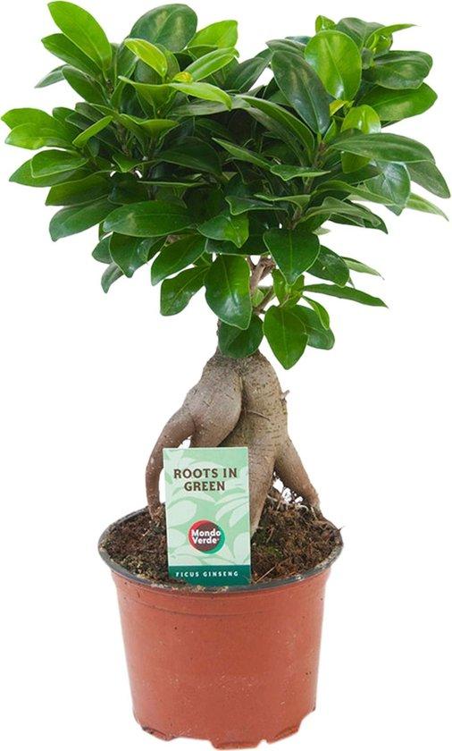 Bol Com Ficus Ginseng Bonsai Boom Hoogte 30 35cm Potmaat O 12cm